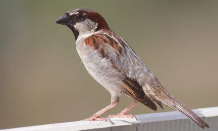 Researcher Finds Gender Differences In Seasonal Auditory Changes in Sparrows