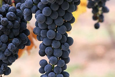 Resveratrol Shows Promise to Protect Hearing and Cognition