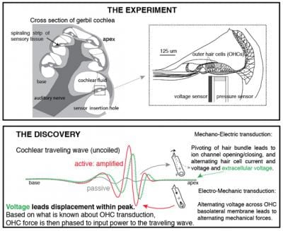 New Findings on Cochlea's Sound Processing May Lead to Better Implants