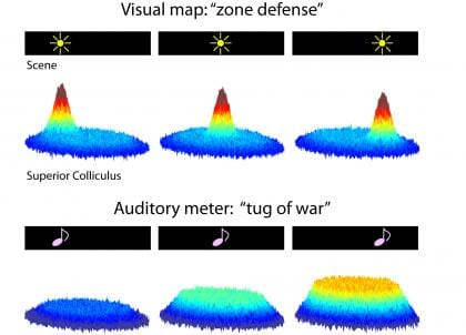 New Research Suggests Neurons Respond Differently to Auditory and Visual Stimuli