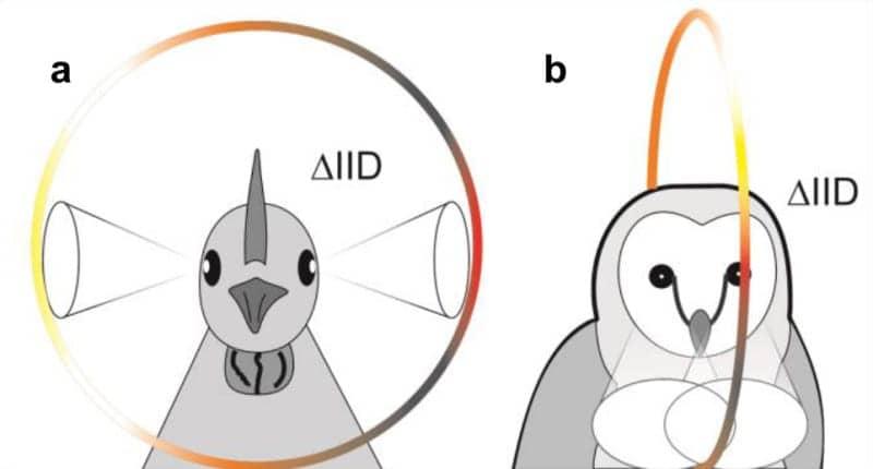 Study Shows How Birds Localize Sound