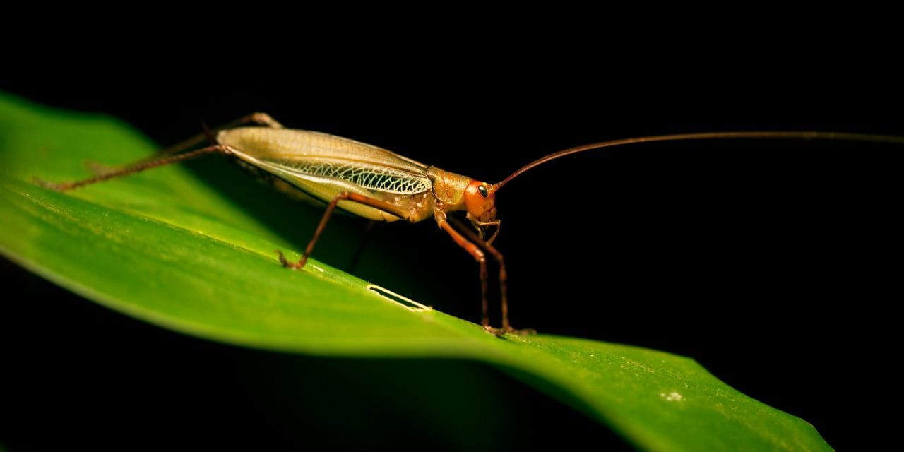 Insect Hearing Research May Advance Hearing Technology