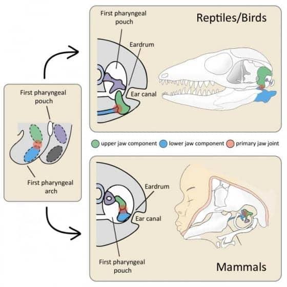 Scientists Determine How Eardrum Evolved in Mammals