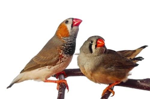 Some Birds Process Sound Like People Do