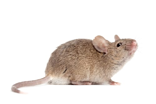 Mouse Study Uncovers Likely Contributor to Age-Related Hearing Loss