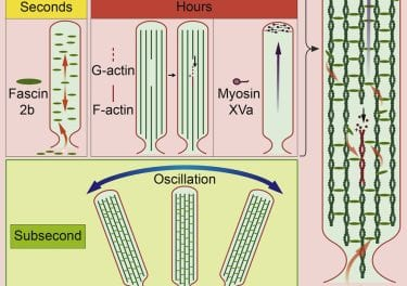 Protein Movement in Inner Ear Hair Cells Shows Renewal Mechanism