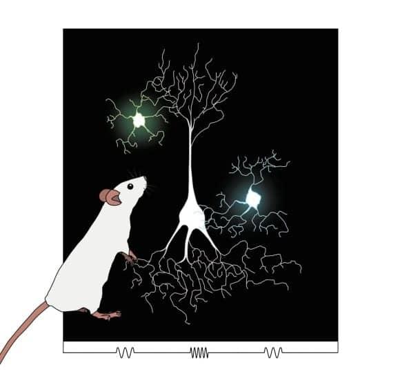 Studies Uncover Hidden Brain Pathways of Communication