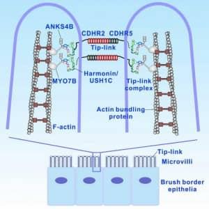 Inner ear hair cells and gut cells