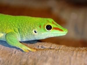 """Geckos have """"coupled ears"""""""