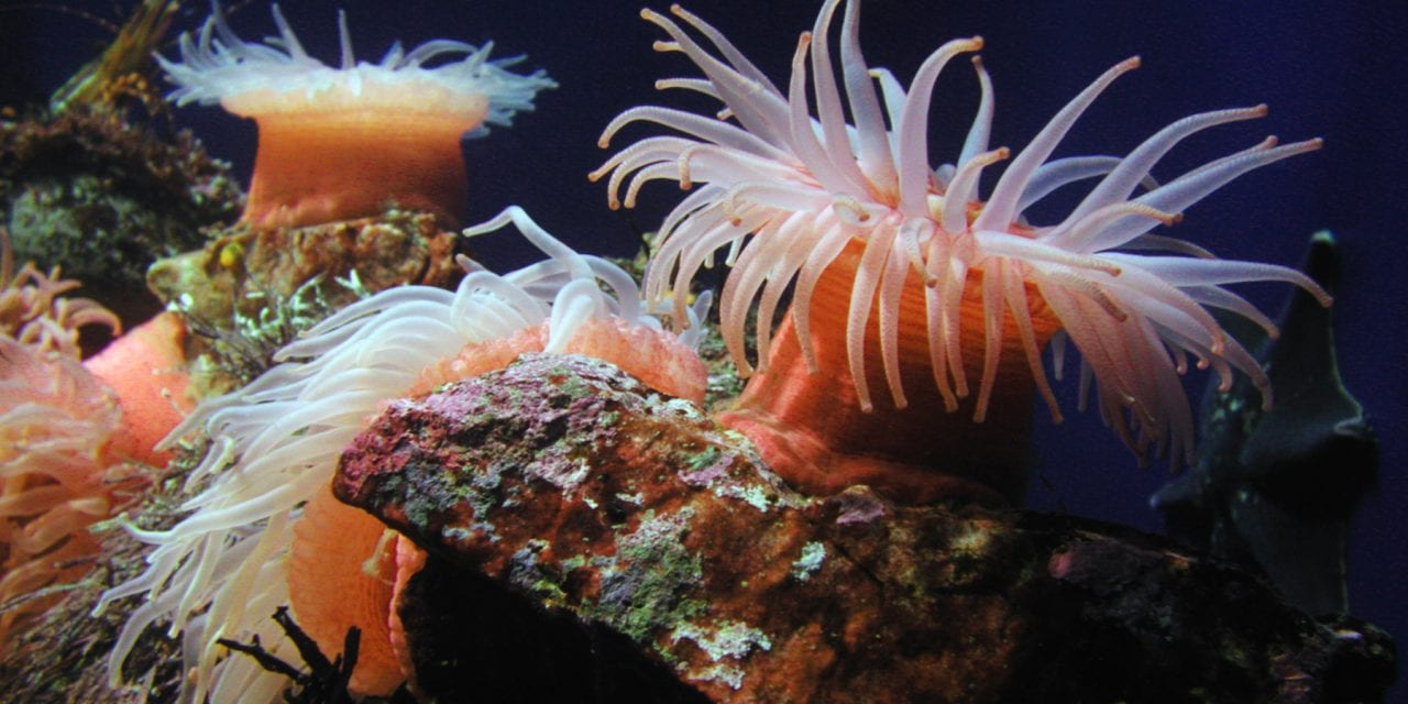 Proteins from Sea Anemones May Rescue Damaged Hearing