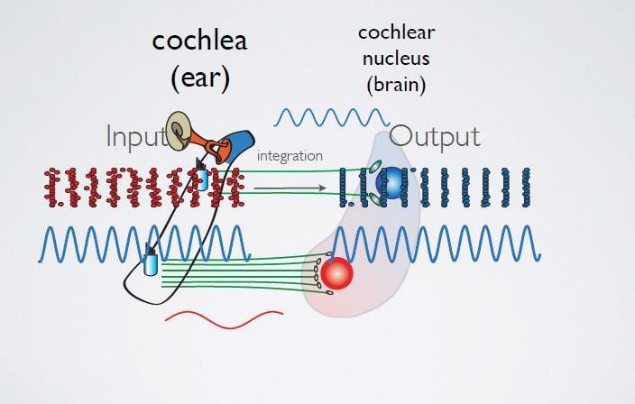 Researchers Identify Precise Components of Auditory Mapping