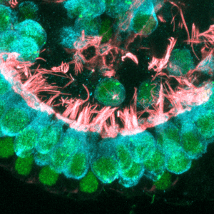 Newly formed cochlear hair cells contain intricate hair bundles with many stereocilia (critical for sensing sound) and other components that are critical for proper function and neural transmission. Credit: Will McLean