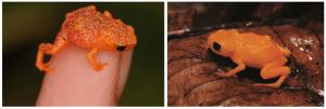 "Photographs of ""pumpkin toadlets."" Left: adult Brachycephalus pitanga on a finger tip, right: adult Brachycephalus ephippium. Courtesy of Dr Sandra Goutte."