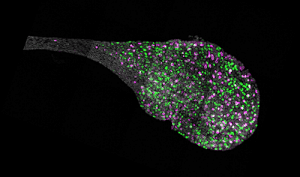 Endolymphatic sac from the inner ear of a mouse.