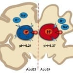 PH Imbalance in Brain Cells May Be Related to Alzheimer's, Johns Hopkins Research Shows