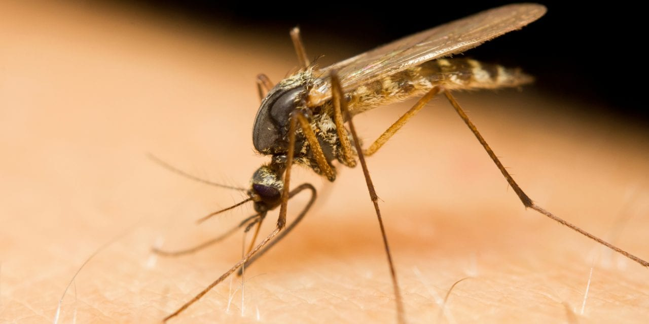 Male Mosquitoes' 'Phantom Tone' Helps Amplify Sound of Female