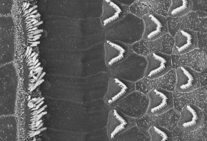 Scanning electron microscope image of the hair bundles of inner and outer hair cells from the mouse cochlea. The white filaments are the individual hairs of the bundles, which are connected by tip links. Image courtesy of Tobias Bartsch.