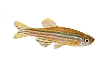 Researchers Study Link Between Hair Cells and Genetic Factors in Zebrafish