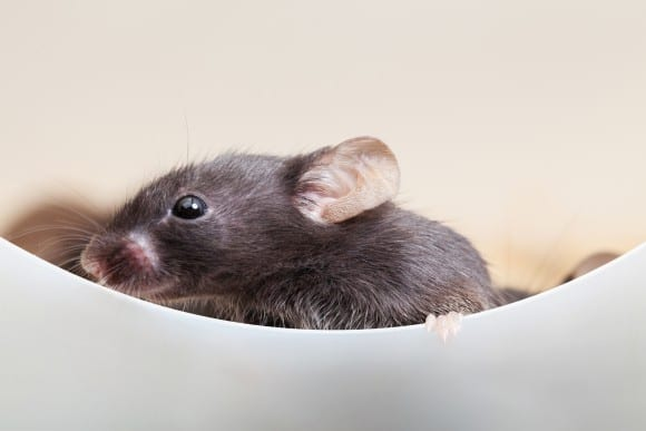 Harvard Researchers Restore Partial Hearing in Mice with Recessive Mutation for Deafness