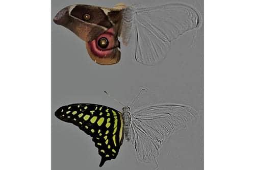 Deaf Moths Evolved Defenses against Predators