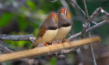 Zebra Finches 'Amazing' at Unmasking The Bird Behind The Song