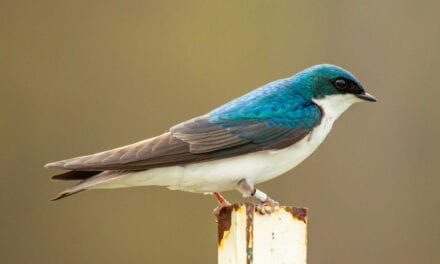 Loud Noise May Affect Songbirds' Reproduction