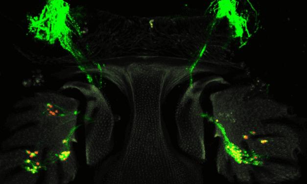 Flies Regenerate Sensory Hearing Cells, Research Finds