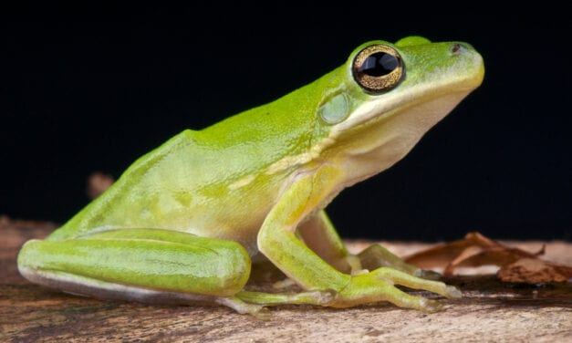 Frogs' Lungs Act As 'Noise-canceling' Headphones