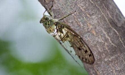 Cicadas' Buzzing Sound Could Worsen Tinnitus